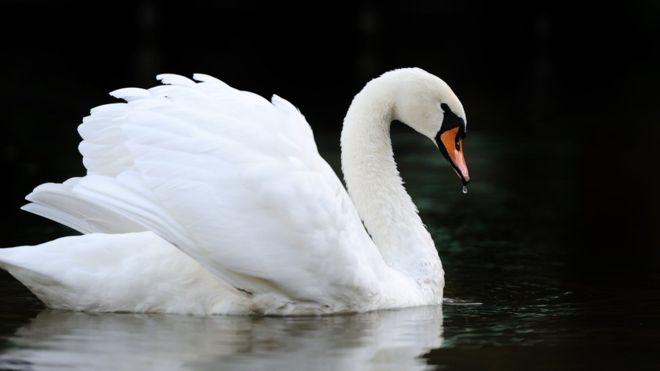 Mute Swan memiliki bulu putih bersih dan anggun   image 2