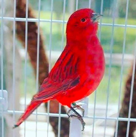 Warna merah dengan kombinasi biru tua membuat burung kenari ini selain elok dilihat sungguh suaranya merdu di dengar