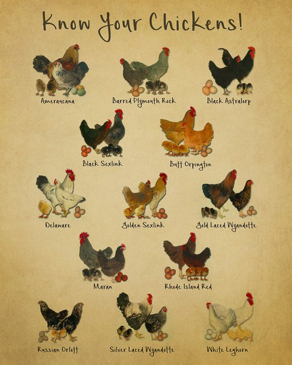 The example of chicken breeds chart that you can choose to raise in your backyard.