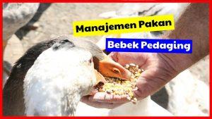 Manajemen Pakan Bebek Pedaging Agar Cepat Besar dan Efisiensi Tinggi