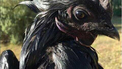 The reason behind the black colors of ayam cemani is caused by the pigmentation factor which called fibromelanosis   Exotic cemani chicken