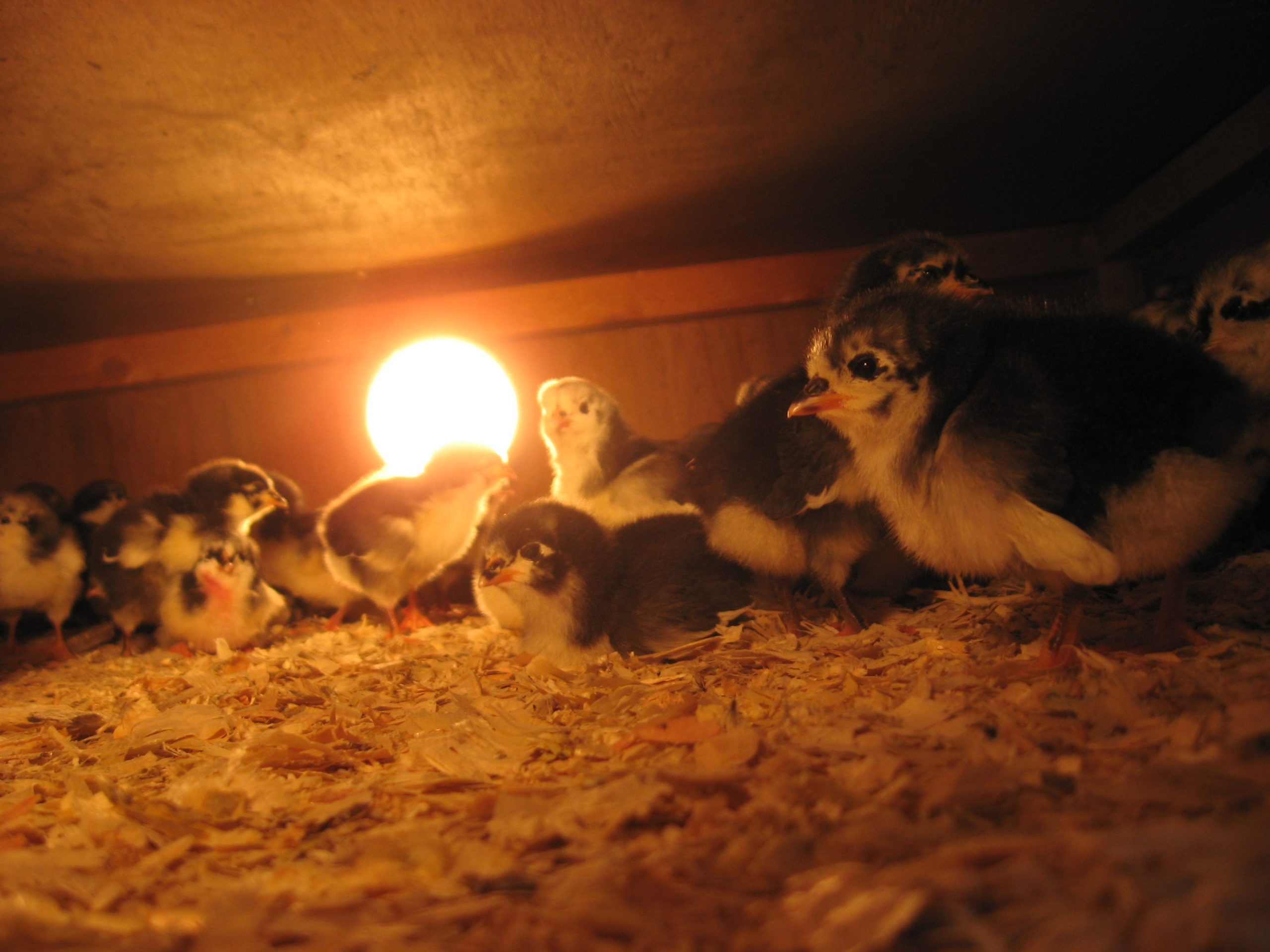 Chicks need the warmth from the lights because their feathers have not grown optimally.