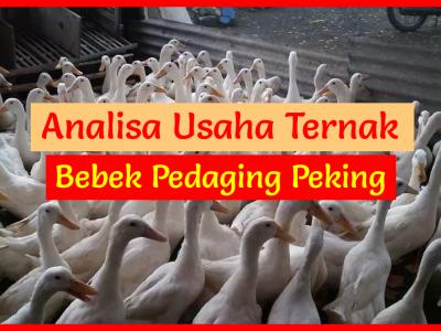 Analisa Usaha Ternak Bebek [edaging Peking