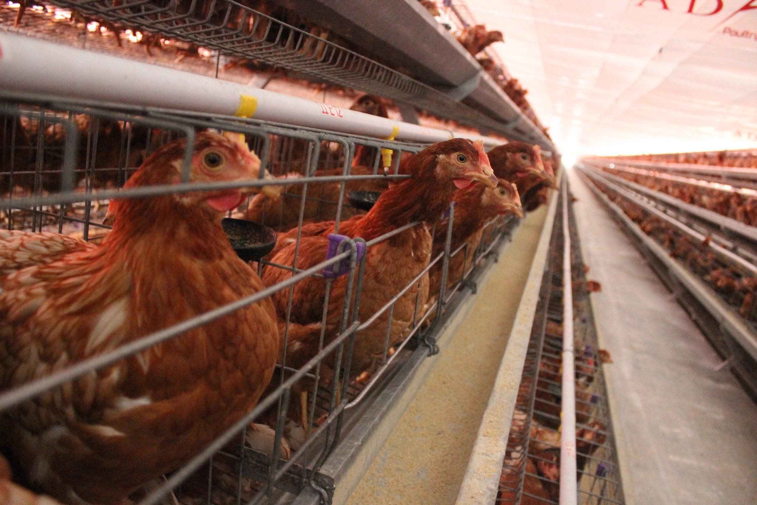 Ayam Petelur Layer