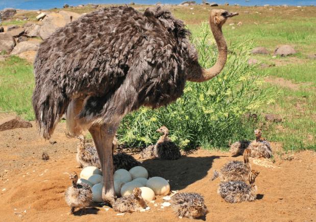 Seperti yang terlihat di foto, ukuran telur burung unta ukurannya lebih besar dibandingkan dengan jenis telur lainnya | Image 1