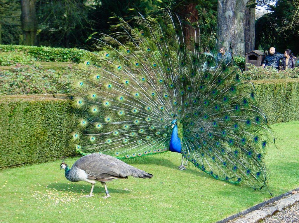 Burung merak memiliki ekor yang indah dan unik, terkhusus pada merak yang berjenis kelamin jantan ~ Image 1