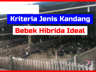 Kriteria Jenis Kandang Bebek Hibrida HOBI TERNAK kandang bebek hibrida word1