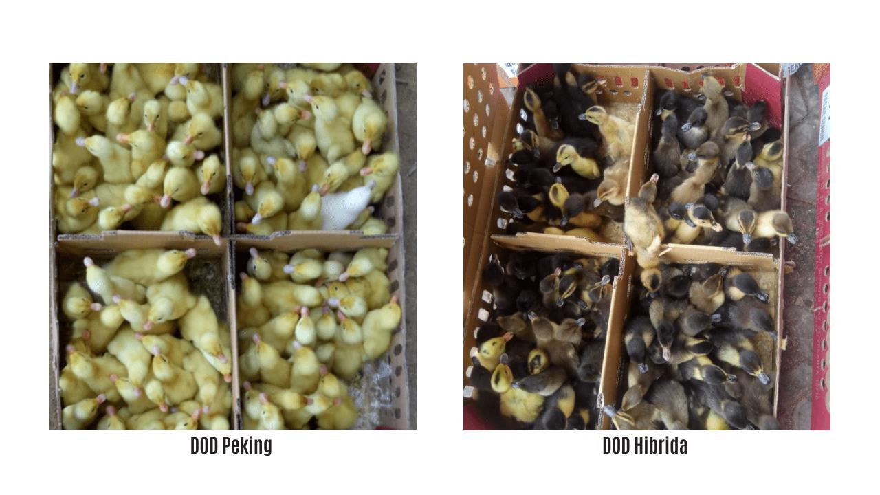 Pemeliharaan Bebek Pedaging Hibrida & Peking memiliki waktu yang relatif singkat, yakni 45 hari panen dengan bobot rata - rata 1,2 - 1,4 per ekor | image 2