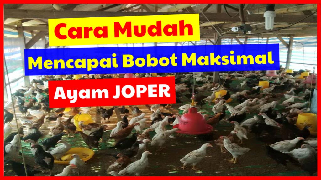 Target Bobot Maksimal Ayam Kampung Super