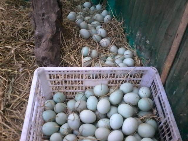 Proses pemanenan dan pengumpulan telur bebek mojosari | Image 2