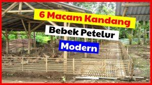 6 Kandang Bebek Petelur Modern yang Bisa di Terapkan