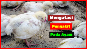 mengatasi penyakit pada ayam