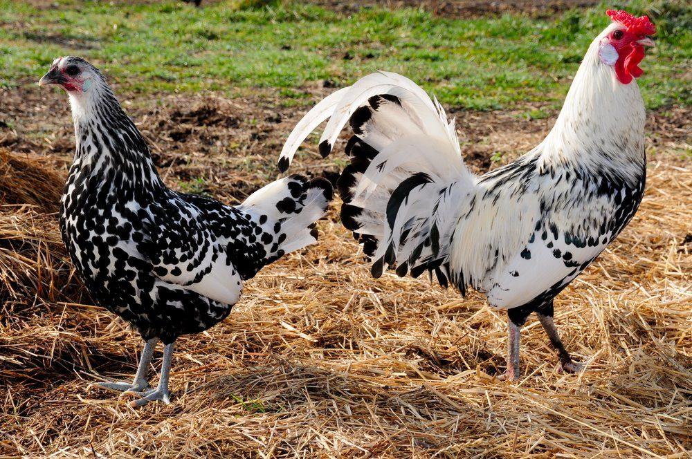 Ayam petelur hamburg dapat menghasilakan telur sekitar 200 butir per tahunnya.   Image 7