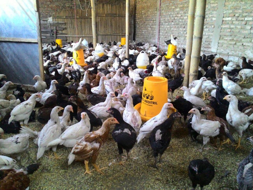 JOPER adalah persilangan dari ayam bangkok pejantan dengan petelur betina.