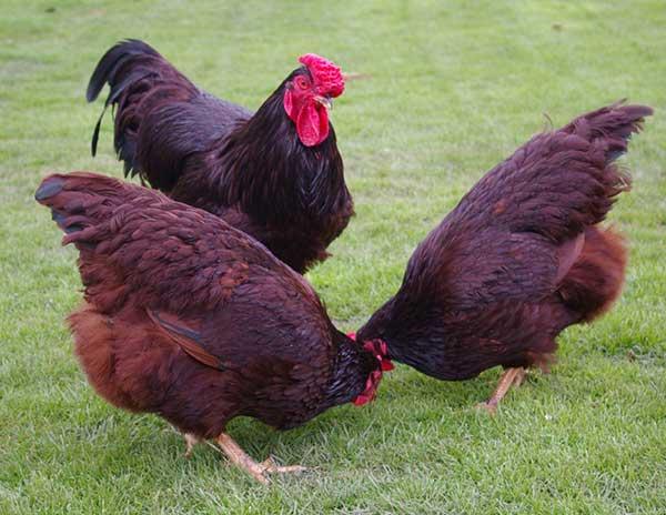 Ayam ini mampu memproduksi telur hingga 250 butir per ekornya.   Image 8