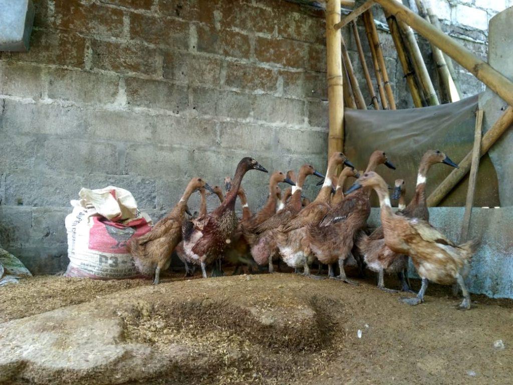Membuat Kandang Bebek dengan Jaring Kandang Ayam yang Praktis
