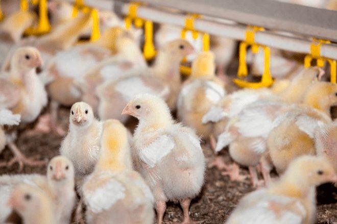 Agar Ayam Broiler tumbuh dengan sehat maka petenak perlu memberikan pakan yang berkualitas | gambar 3