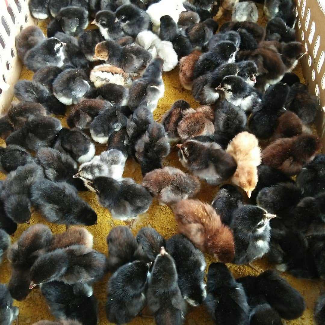 Ayam Kamsi Joper persilangan dari ayam bangkok pejantan dengan ayam arab betina