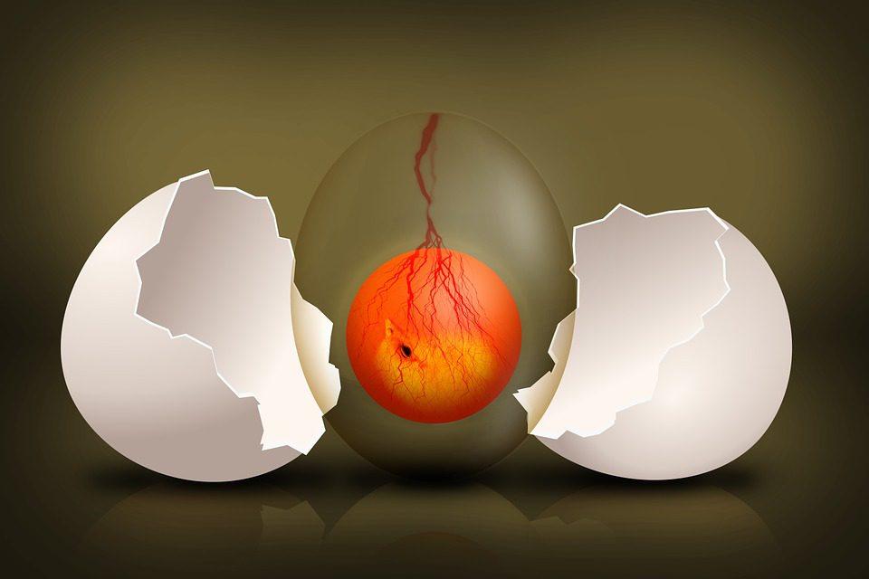 Embrio Ayam Layer Petelur