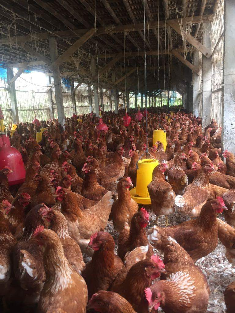 Kandang Grower - Produksi untuk ayam petelur sebelum dimasukan ke dalam kandang baterai