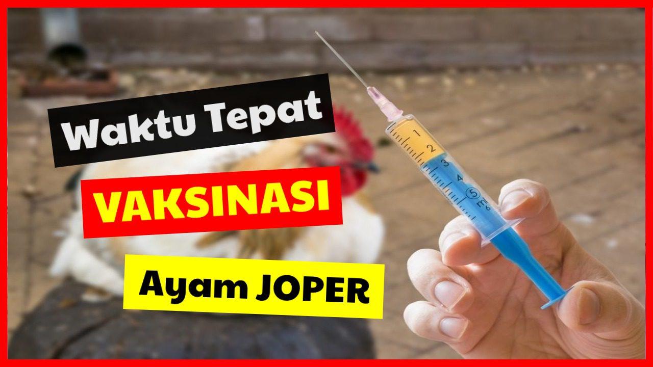 Kapan Waktu Tepat Vaksinasi Ayam JOPER ?