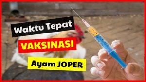 cropped Waktu Tepat Vaksinasi Ayam JOPER HOBI TERNAK vaksin ayam word3