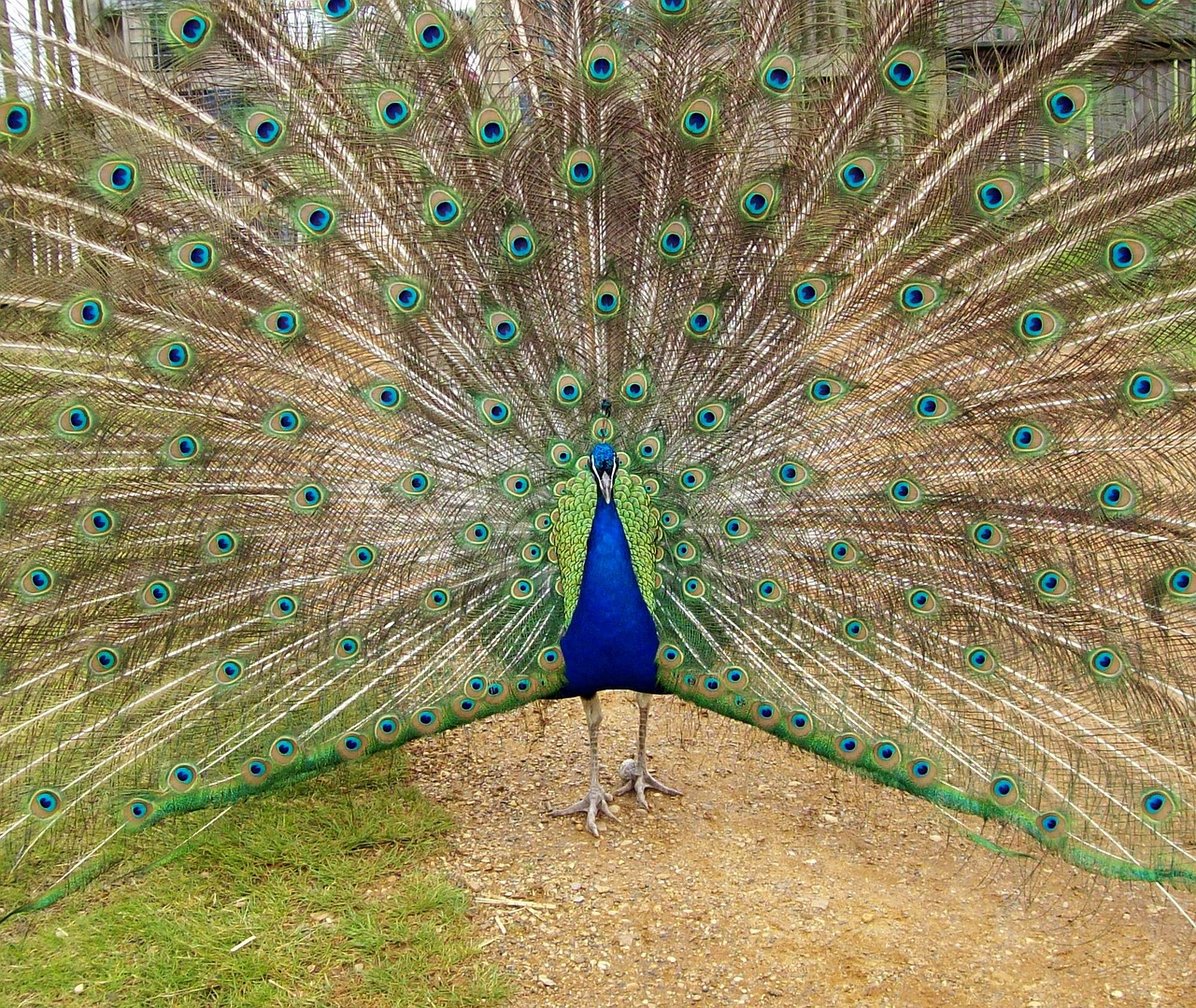 Ketika merak biru membentangkan ekornya, seolah ada ratusan mata yang terpampang. | image 4