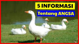 5 Informasi Menarik Mengenai Angsa yang Belum Banyak di Ketahui