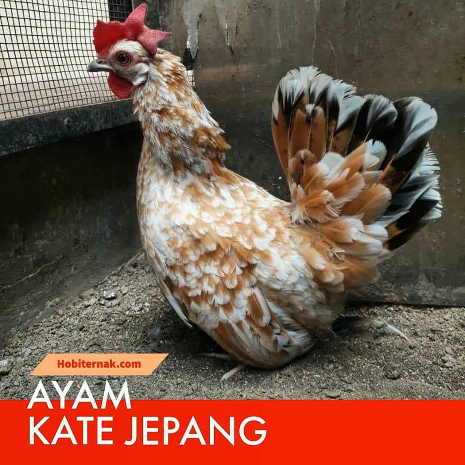 Ayam Kate Jepang