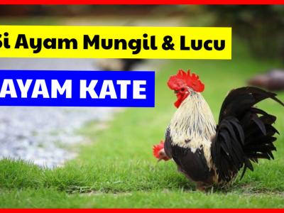 Ayam Kate termasuk jenis ayam hias yang memiliki keunikan pada postur tubuhnya