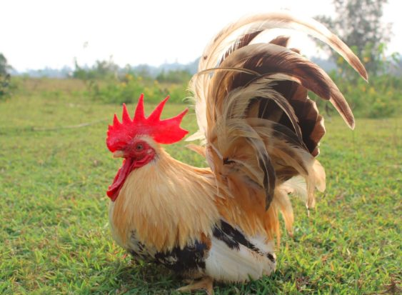 Ayam Kate banyak dijadikan oleh masyarakat sebagai ayam hias yang masuk dalam kategori ayam buras   image 5