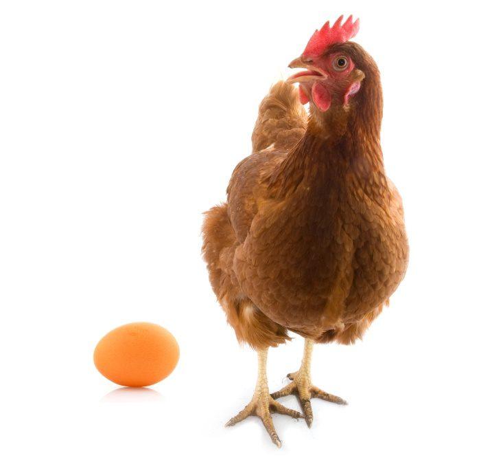 Ayam Petelur. HOBI TERNAK harga DOC atau bibit ayam petelur layer word2