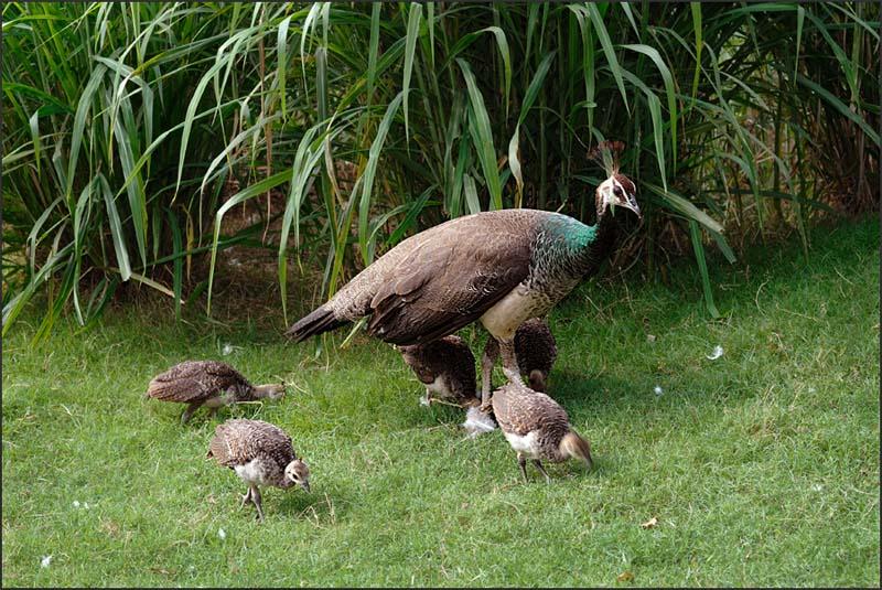 Budidaya burung merak biru merupakan bisnis yang menguntungkan | image 9