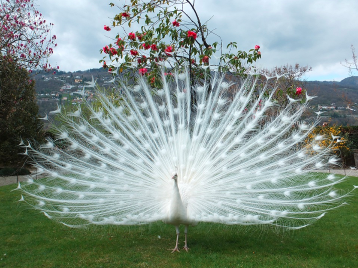 Burung merak putih jantan yang sedang memperlihatkan keindahan bulu ekornya ~ Image 1