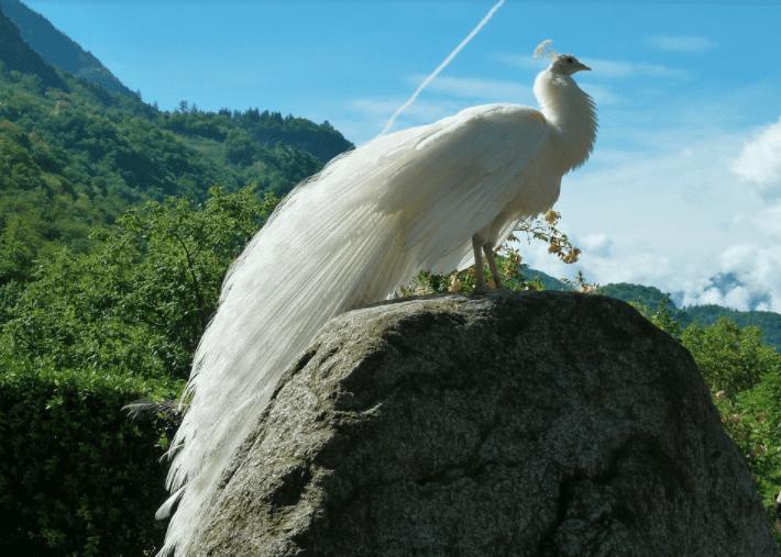Penampilan burung merak yang anggun membuat orang yang melihatnya terpesona ~ Image 2