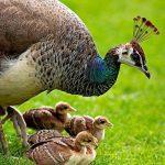 Induk merak dan anaknya HOBI TERNAK burung merak word2