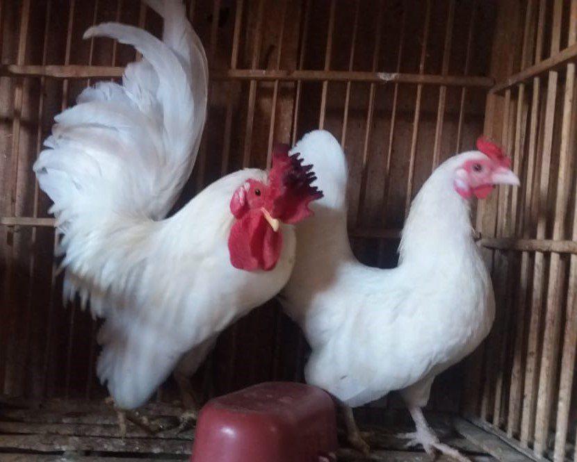 Ayam Kate Putih