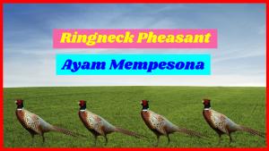 Ringneck Pheasant HOBI TERNAK jenis ayam ringneck word1