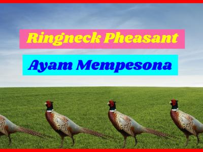 Ringneck Pheasant HOBI TERNAK jenis ayam ringneck word2