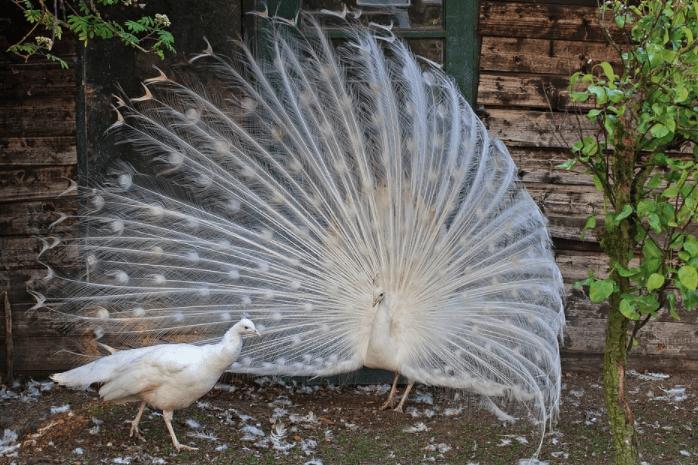 Sepasang burung merak putih ~ Image 3