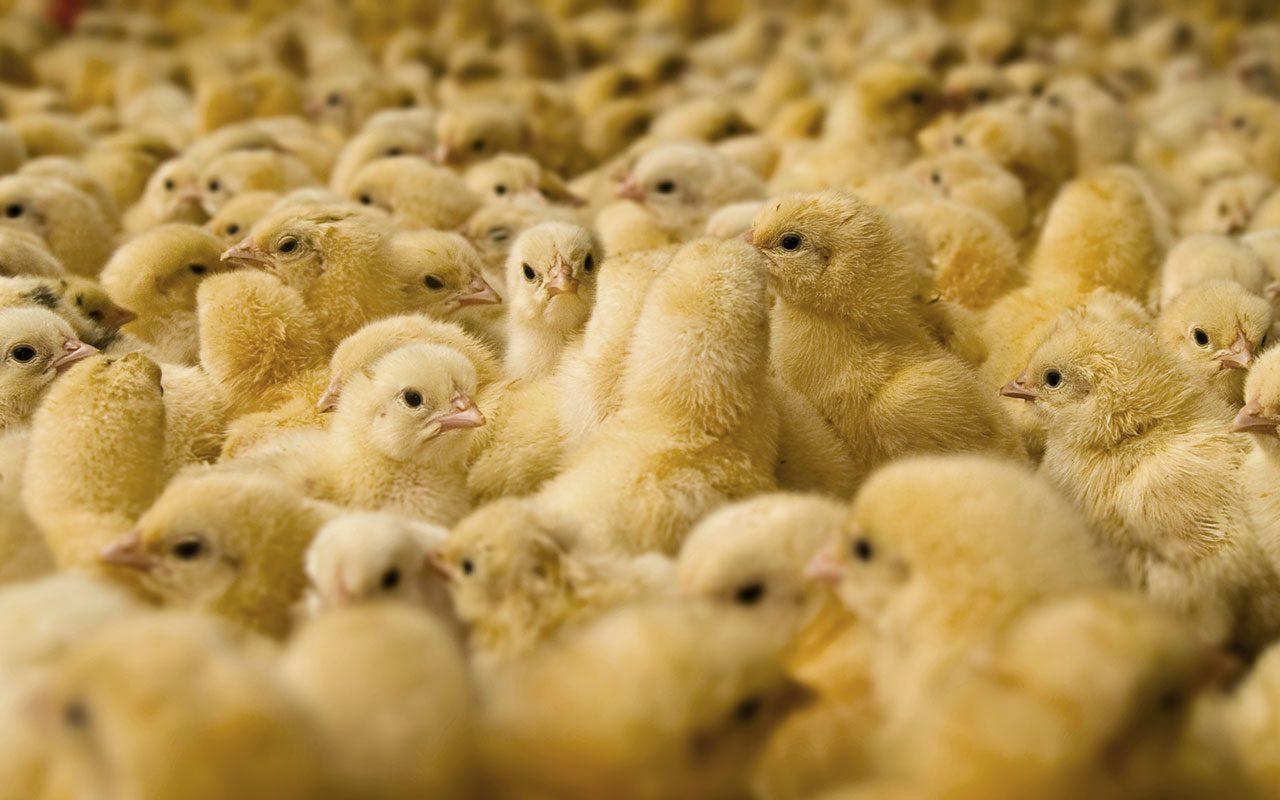 Ayam Broiler memiliki masa panen yang cukup singkat yakni 35 hari saja | image 1