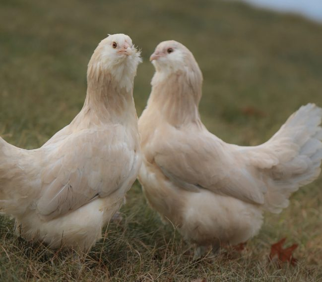 An exotic chickens which came from America, this Ameraucana chicken is a nice choice for your backyard.