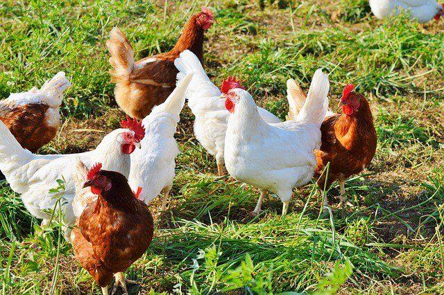 Tipe-tipe Ayam Petelur, Tipe Ringan (warna bulu puth) dan Tipe Sedang (warna bulu coklat)