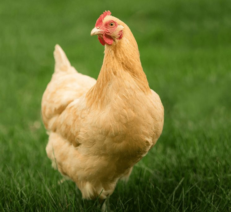 Orpington is a breeds of laying poultry which also produce meat and their characteristics is so tame.
