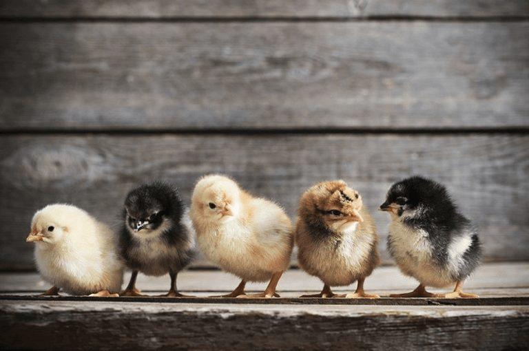 DOC atau Bibit Ayam Kampung Super atau Jawa Super