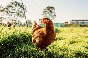 Hyline HOBI TERNAK Harga Ayam Petelur word3