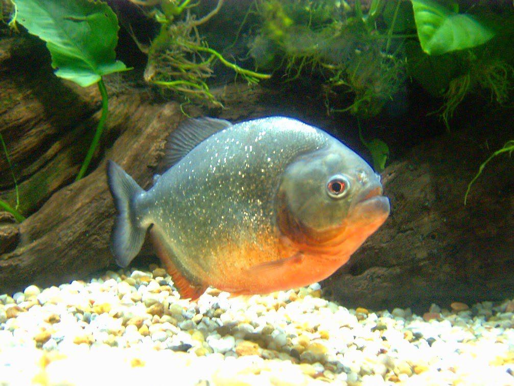 Ikan Bawal HOBI TERNAK Manfaat Ikan Lele dan Berbagai Jenis Ikan Lainnya word2