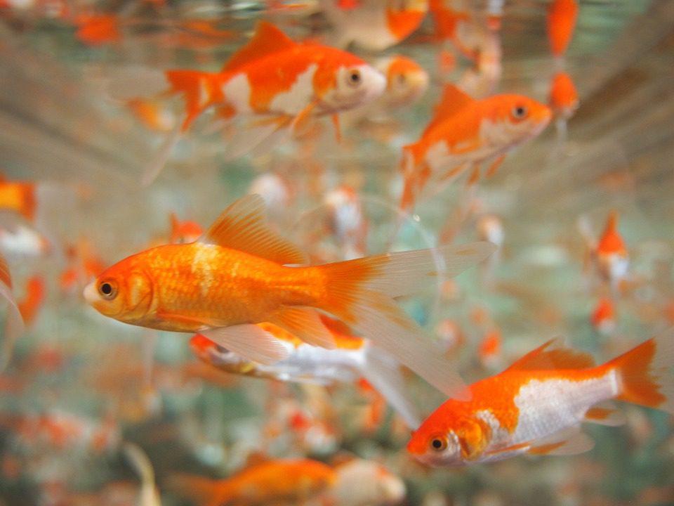 Ikan Mas HOBI TERNAK Manfaat Ikan Lele dan Berbagai Jenis Ikan Lainnya word2