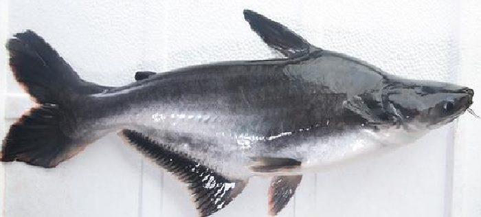 Ikan Patin HOBI TERNAK Manfaat Ikan Lele dan Berbagai Jenis Ikan Lainnya word2