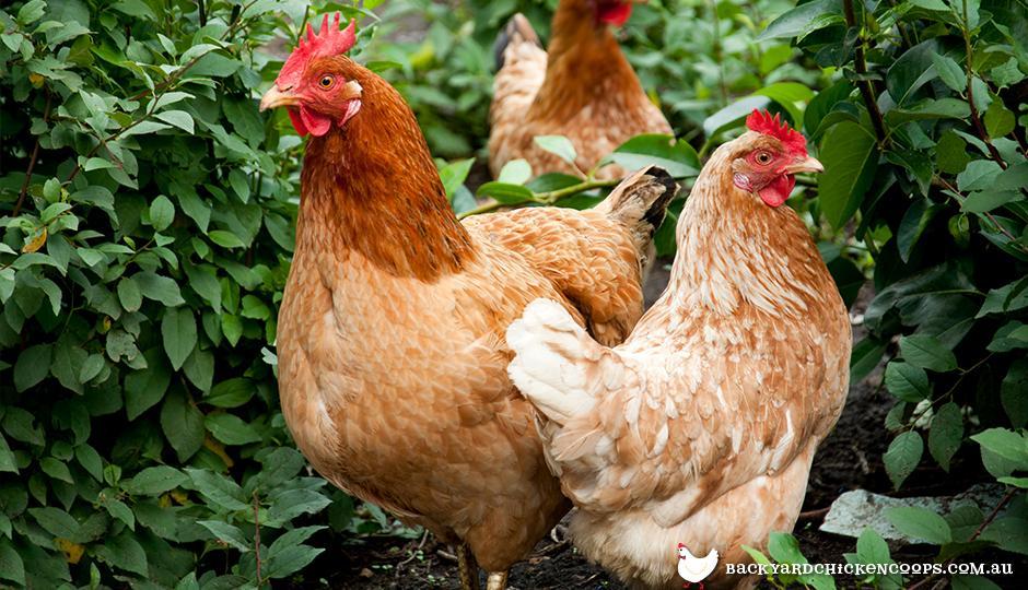 Isa Brown HOBI TERNAK Harga Ayam Petelur word3